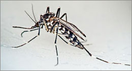 Moustiques - Le tigre attaque !